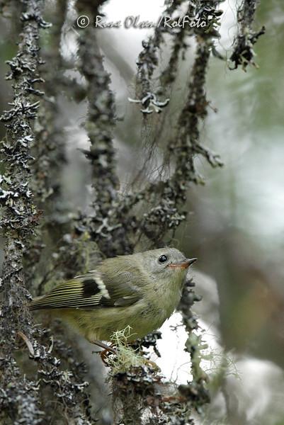 Ung fuglekonge i gammelskog