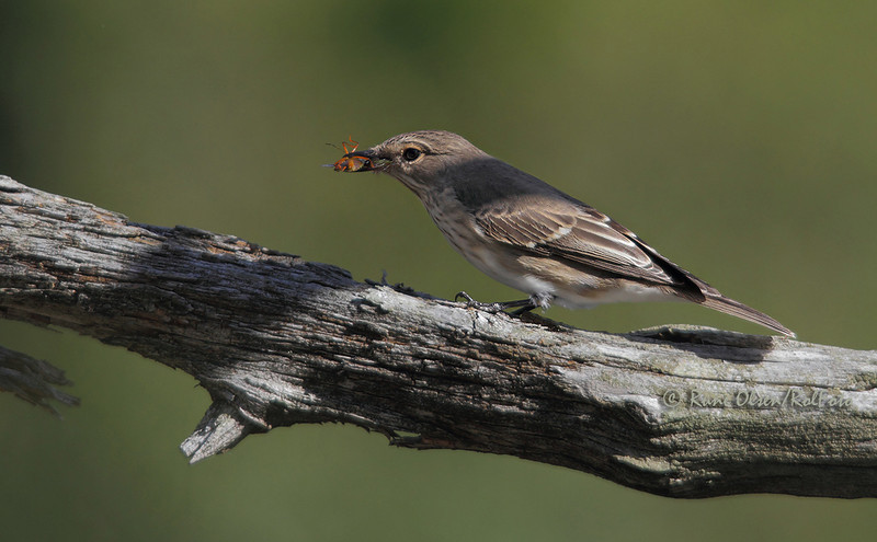 Spotted Flycatcher / Gråfluesnapper, (Musciapa striata), har akkurat fanget en bille<br /> Hjertås, Sandefjord, Vestfold 220810