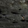 Huleboer i flukt foran hulene