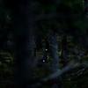 Tiur i den mørke storskogen