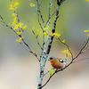 Vårfink