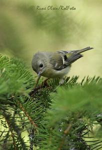 Ung fuglekonge i barskog