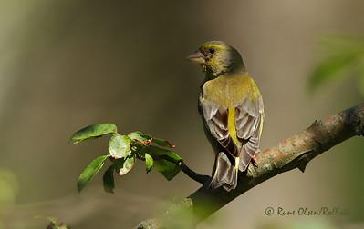 Grønnfink under eikeskogens tak
