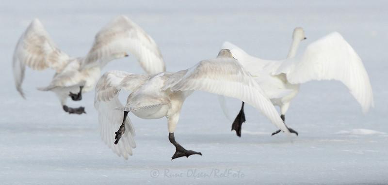 Dere, hør her...burde ikke vi sett litt mer elegante ut?? Vi er tross alt svaner!!
