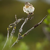 Buskskvett på kvisten