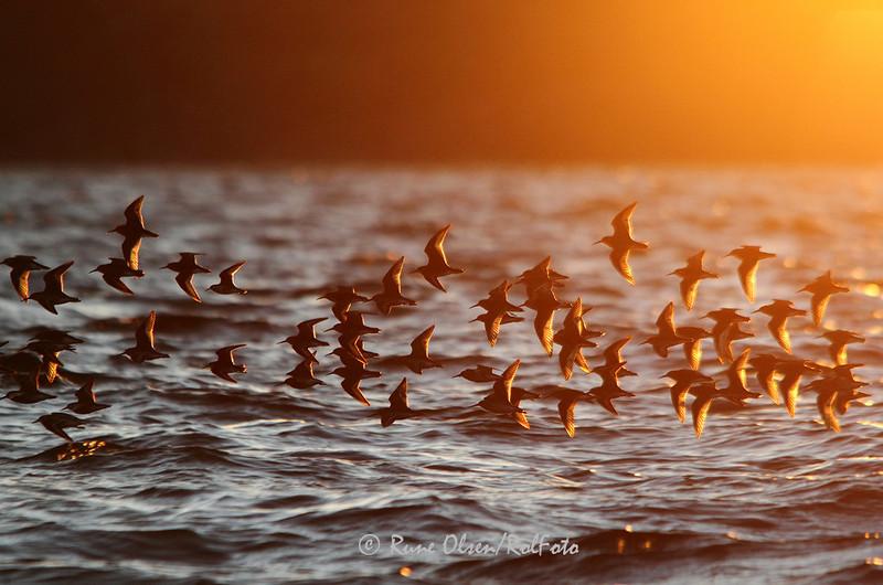 Myrsniper i flukt i solnedgangen