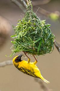 Masked weaver building nest