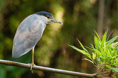 Heron on bamboo