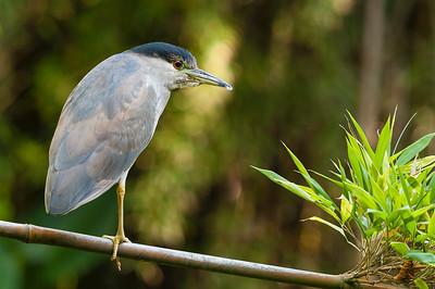 Heron on bamboo