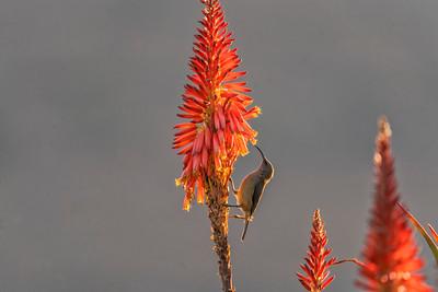 Lesser collared sunbird
