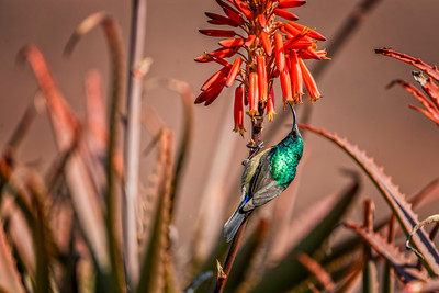 Male sunbird feeding on aloe flower