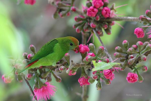 Colasisi. Photo by Tonji Ramos. tonjiandsylviasbirdlist.com