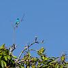 P1010680 Azulejo Golondrina - Swallow Tanager
