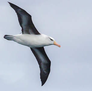 Black-browed Albatross (Swartrugalbatros)