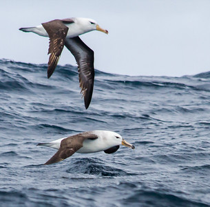 Black-browed Albatross (Imm) (Swartrugalbatros)