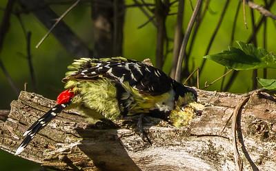Crested Barbet (Kuifkophoutkapper)