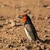 Black-collared Barbet (Rooikophoutkapper)