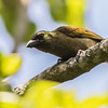 Green Barbet (Groenhoutkapper)