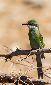 Swallow-tailed Bee-eater (Swaelstertbyvreter)
