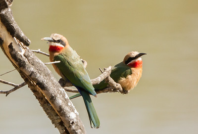White-fronted Bee-eater (Rooikeelbyvreter)