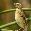 Southern Red Bishop (F) (Rooivink)