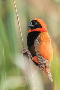Southern Red Bishop (M) (Rooivink)