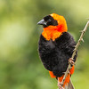 Southern Red Bishop (M) (Rooivink)