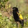 Yellow Bishop (M) (Kaapse flap)