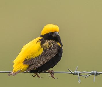 Yellow-crowned Bishop (M) (Goudgeelvink)