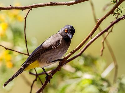 African Red-eyed Bulbul (Rooioogtiptol)