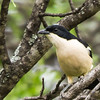 Tropical Boubou (Tropiese waterfiskaal)