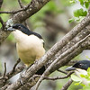 Tropical Boubou (M, F) Tropiese waterfiskaal)
