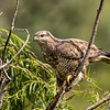 Common (Steppe) Buzzard (Bruinjakkalsvoël)