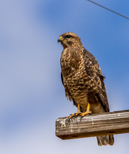 Common (Steppe) Buzzard (Bruinjakkalsvoël)