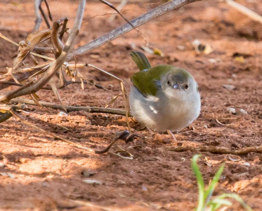 Green-backed Camaroptera (Groenrugkwêkwêvoël)