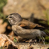 Black-headed Canary (F) (Swartkopkanarie)