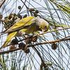 Cape Canary (Kaapse kanarie)