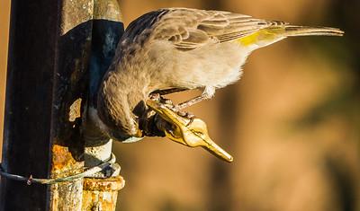 White-throated Canary (Witkeelkanarie)