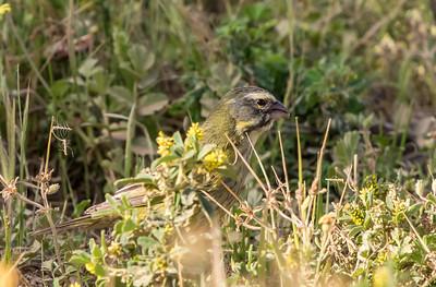 Yellow Canary (F) (Geelkanarie)