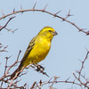 Yellow Canary (M) (Geelkanarie)