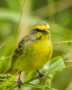 Yellow-fronted Canary (Geeloogkanarie)