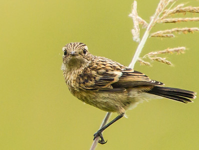 Wing-snapping Cisticola (Kleinste klopkloppie)