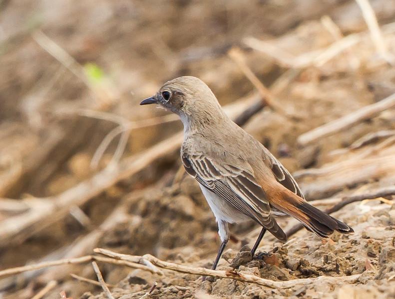 Sickle-winged Chat (Vlaktespekvreter)