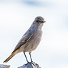 Sickle-winged Chat (Vlaktespekvreter)