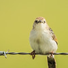 Pale-crowned Cisticola (Bleekkopklopkloppie)