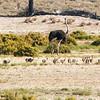 Common Ostrich (M,F,Juv) (Volstruis)