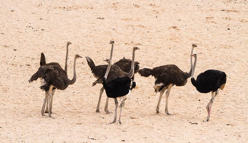 Common Ostrich (M, F) (Volstruis)