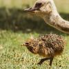 Common Ostrich (Imm) (Volstruis)