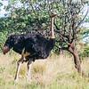 Common Ostrich (M) (Volstruis)
