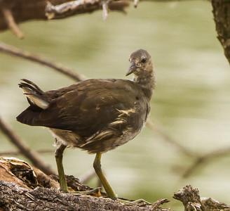 Common Moorhen (Imm) (Grootwaterhoender)